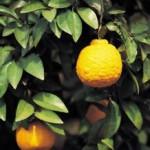 лимон, Lemon