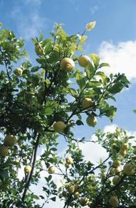 lemon tree, лимонное дерево