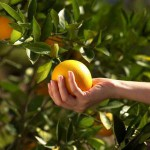 грейпфрут, grapefruit