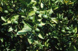 лаймовое дерево, lime tree