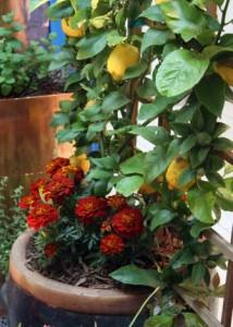 citrus trees, цитрусовые деревья