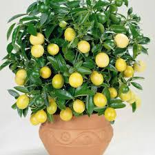 Выращивание лимона Мейера