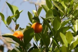 апельсины, oranges