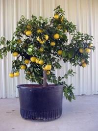 container citrus
