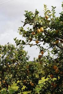 лимонное дерево, lemon tree
