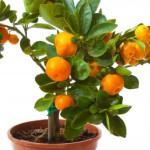 карликовое апельсиновое дерево