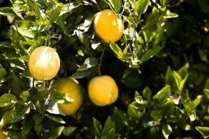 миниатюрное апельсиновое дерево