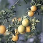 апельсин, orange