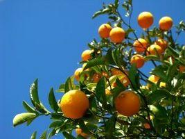 orange tree, апельсиновое дерево
