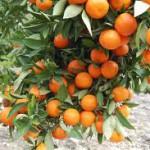 выращивание цитрусовых в теплице
