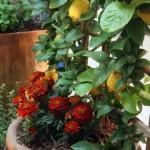 Выращиваем цитрусовые дер...