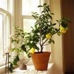 citrus indoors, цитрусовые в помещении