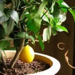 citrus tree, цитрусовое дерево