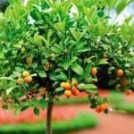 цитрусовые деревья