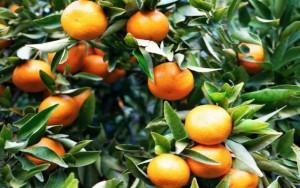 zimni-pece-o-citrusy-7-tangerinka-titulka