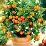 vyrashhennoe-doma-apelsinovoe-derevo