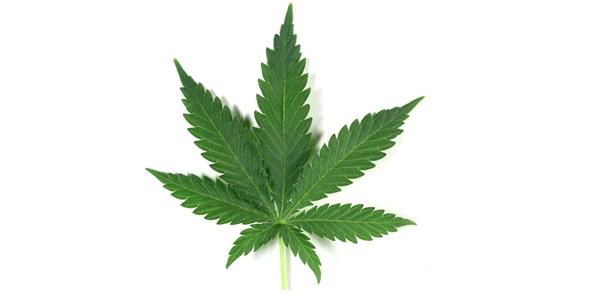 indica-marijuana-leaf