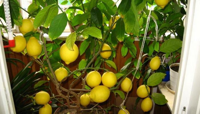 Цитрусовые растения из семян
